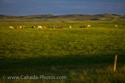Field Grazing Cattle Morse Town Saskatchewan Canada