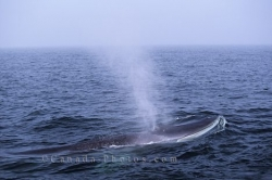 Fin Whale Quebec