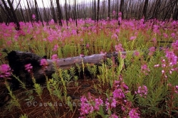 Fireweed Flowers Yukon