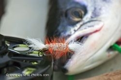 Fish Eye Atlantic Salmon