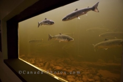 Fish Ladder Salmonid Interpretation Centre Newfoundland