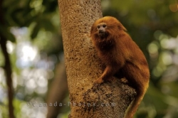 Golden Lion Tamarin Animal Picture