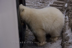 Head First Polar Bear Churchill Manitoba