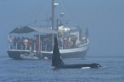 Killer Whale Watching Vancouver Island