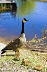 Lake Erie Canada Goose Goslings Point Pelee National Park Ontario