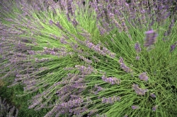 Lavender Field Bloom