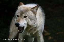 Mean Looking Timber Wolf Picture Parc Omega Outaouais Quebec