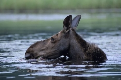 Moose Head Ontario