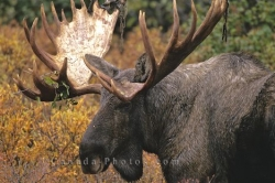 Photo Of A Moose Stag