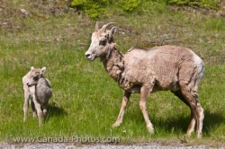 Mother Bighorn Sheep With Lamb Banff National Park Alberta