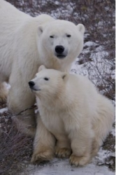 Mother Polar Bear With Cub Churchill Wildlife Management Area