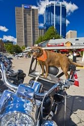 Motorcycle Dog Halifax Downtown Skyscrapers