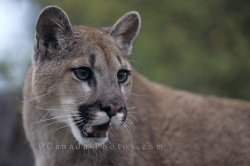 Mountain Lion Picture British Columbia