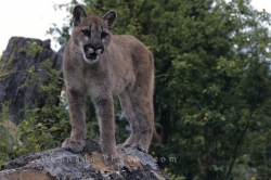 Mountain Lion In British Columbia