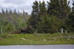 Newfoundland Moose Family