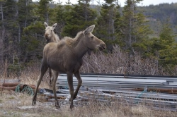 Newfoundland Wildlife Picture