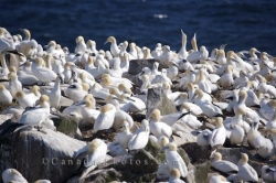 Northern Gannets Birds Avalon Peninsula Newfoundland
