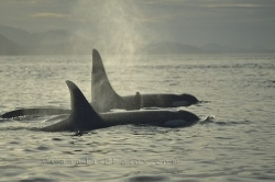 Orca Family Vancouver Island