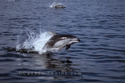 Pacific White Sided Dolphins BC