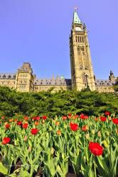 Tulip Parliament Buildings Parliament Hill Ottawa