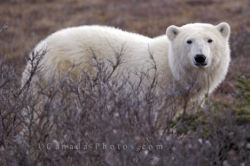 Polar Bear Barren Tundra Churchill Manitoba