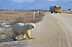 Polar Bear Bus Tour Churchill Manitoba