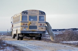 Polar Bear Bus Churchill Manitoba