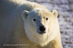 Polar Bear Close Up Picture Churchill Manitoba