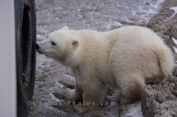 Polar Bear Exploring Churchill Wildlife Management Area