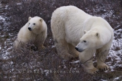 Polar Bear Family Churchill Manitoba