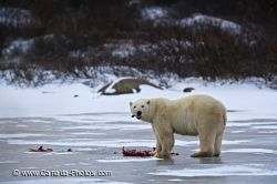 Polar Bear Food Source Ringed Seal