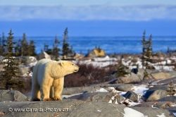 Polar Bear Hudson Bay Rocky Coastline Churchill Manitoba