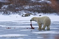 Polar Bear Lunch Hudson Bay Churchill Manitoba