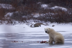 Polar Bear Meal Churchill Manitoba