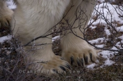 Polar Bear Massive Paws Picture