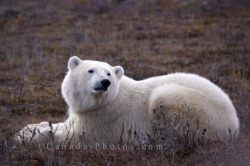 Polar Bear Relaxing Churchill Manitoba