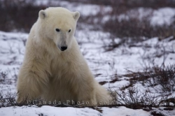Polar Bear Sitting Churchill Manitoba