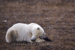 Polar Bear Sleeping Churchill Wildlife Management Area