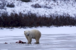 Polar Bear Food Hudson Bay Manitoba