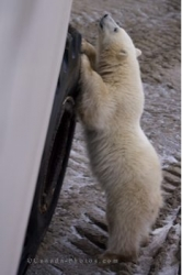 Baby Polar Bear Stance Churchill Manitoba