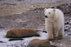 Polar Bear Territory Churchill Manitoba