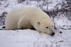 Polar Bear Time Out Winter Landscape Churchill