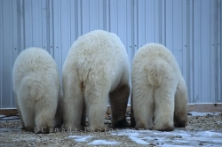 Polar Bear Trio Manitoba