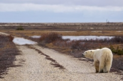 Polar Bear Tundra Churchill Wildlife Management Area