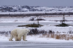 Polar Bear Walking Across Frozen Tundra Churchill Manitoba