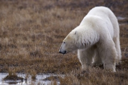 Polar Bear Water Churchill Manitoba