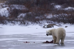 Polar Bear Winter Meal Churchill Manitoba Canada