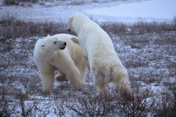 Polar Bears fighting Churchill