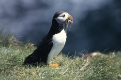 Puffin Pictures Fish