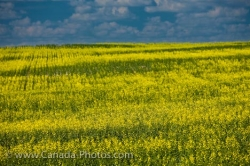 Qu Appelle Valley Canola Field Saskatchewan Canada